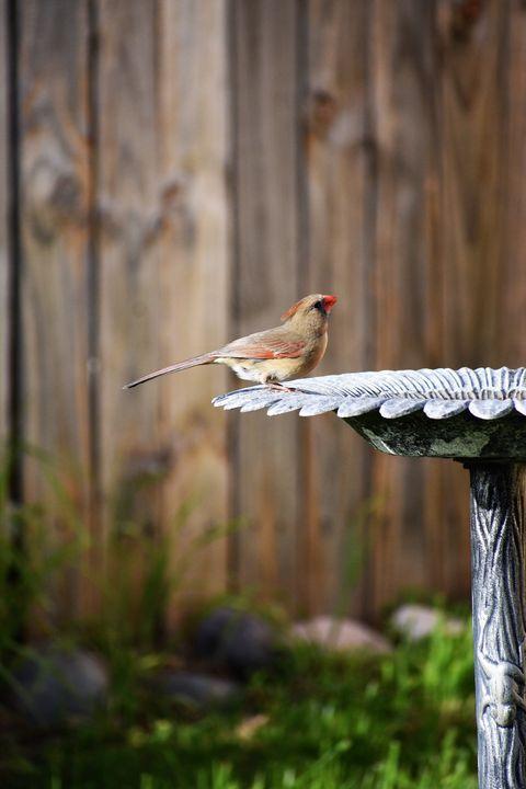 northern cardinal at the birdbath