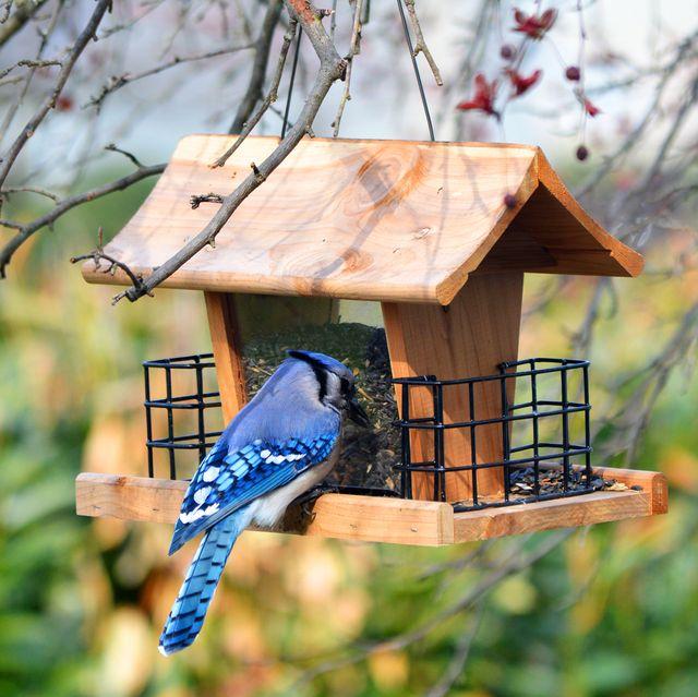 bluejay eating from bird feeder