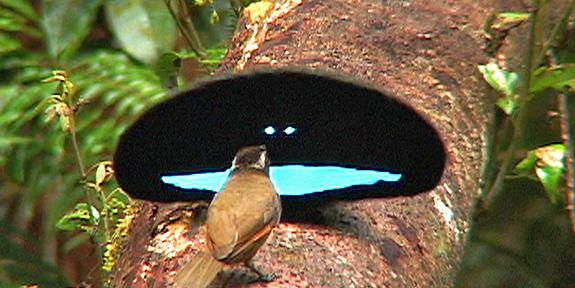 These Birds Use Ultimate Darkness To Attract Mates