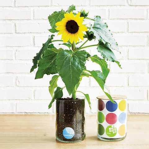 Sunflower, Flowerpot, Flower, sunflower, Plant, Yellow, Vase, barberton daisy, Houseplant, Cut flowers,