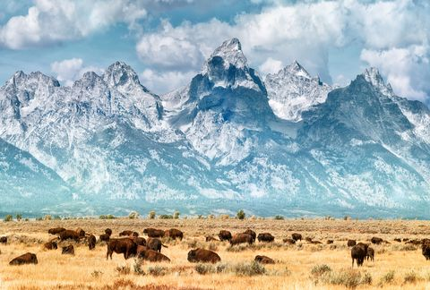bison under the mountains of the grand teton