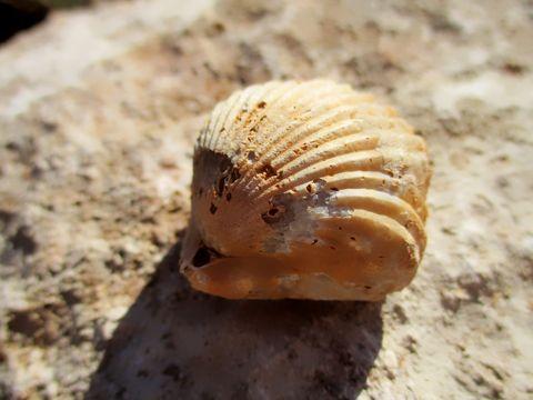 bivalve fossil mollusk