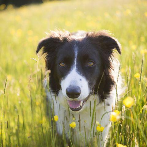 black and white dog breeds border collie