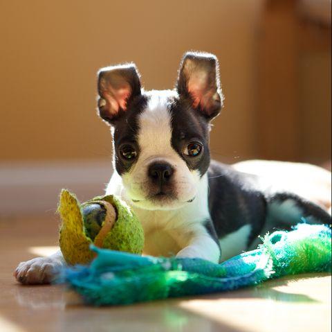black and white dog breeds boston terrier