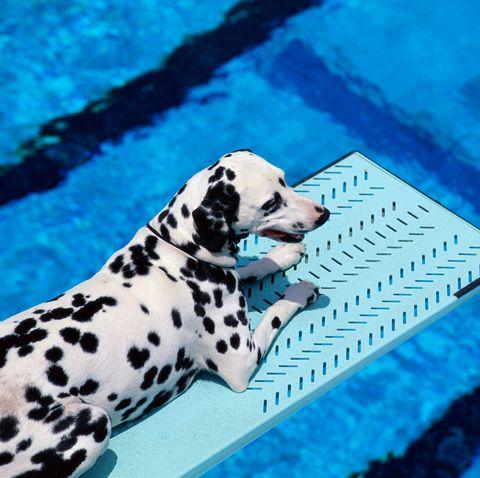 black and white dog breeds dalmatian