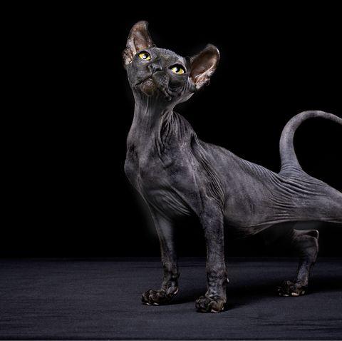 black cat breeds  sphynx