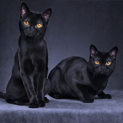 black cat breeds - bombay