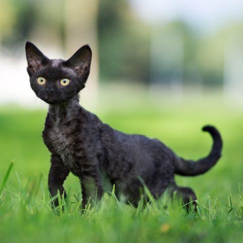 11 Black Cat Breeds Bombay Japanese Bobtail And More