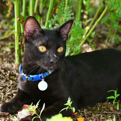 black cat breeds - japanese bobtail