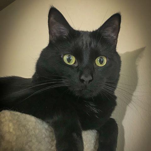 black cat breeds manx