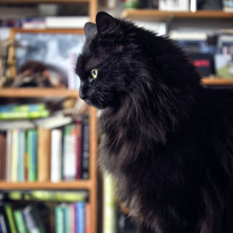 black cat breeds norwegian forest cat