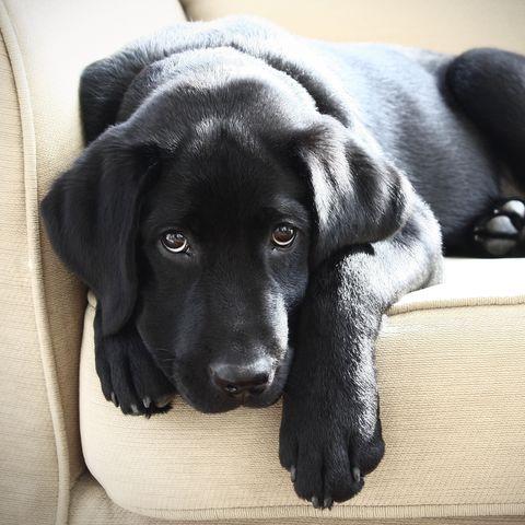 10 Black Dog Breeds Doberman Pinchers Black Labrador Retriever And More