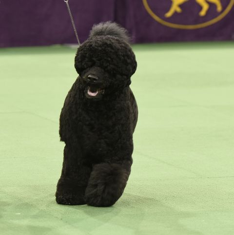 black-dog-breeds-portuguese-water-dog