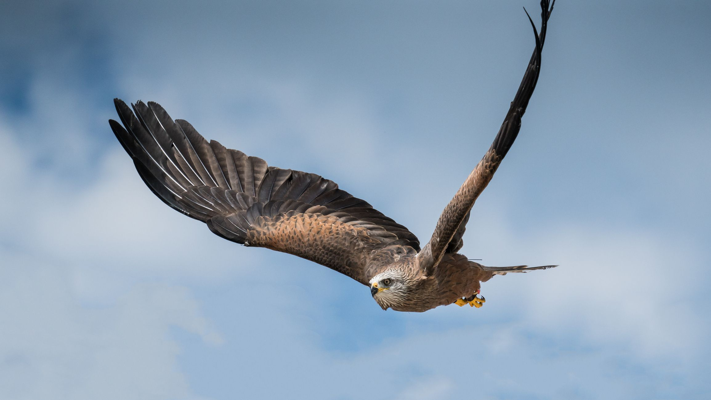 The black kite is set to breed in the UK for the first time