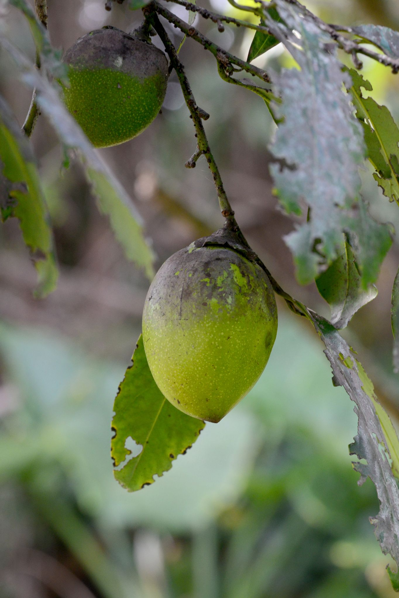 black sapote fall superfoods
