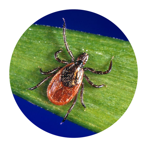 blacklegged tick type