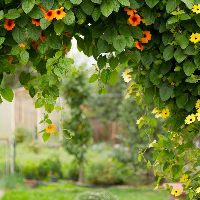 blooming black eyed susan vine