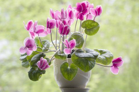 Blooming Cyclamen In A Pot