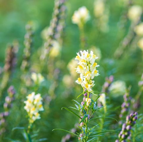 blooming field of wild flowers yellow toadflax