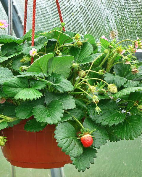 strawberries in hanging basket