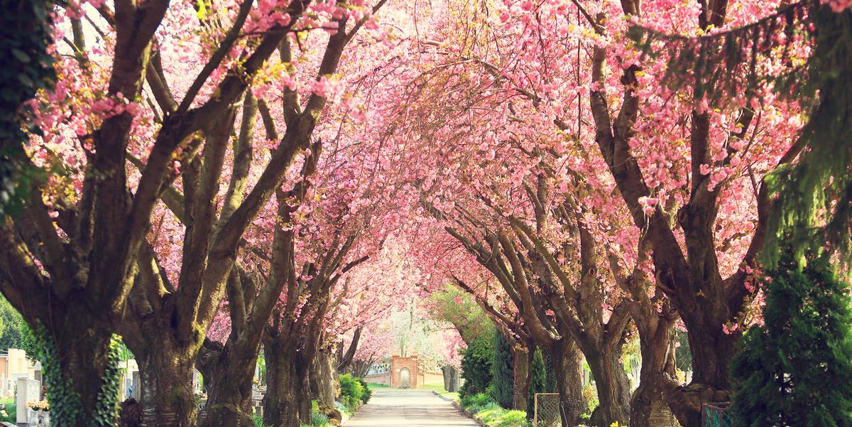 Cherry Blossom Facts 9 Things To Know About Cherry Blossom Trees