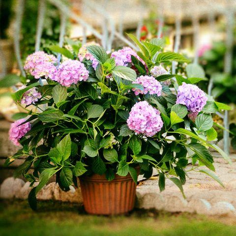 Hydrangea flowers in a plant pot