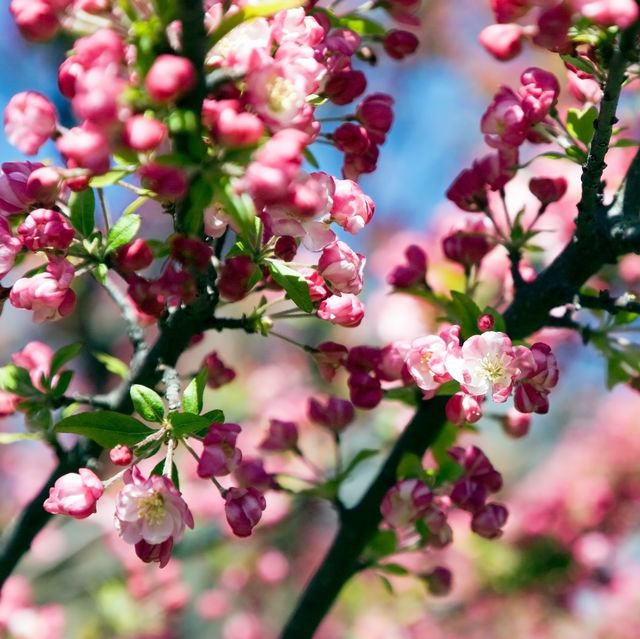 blossom trees, blooming crabapple tree
