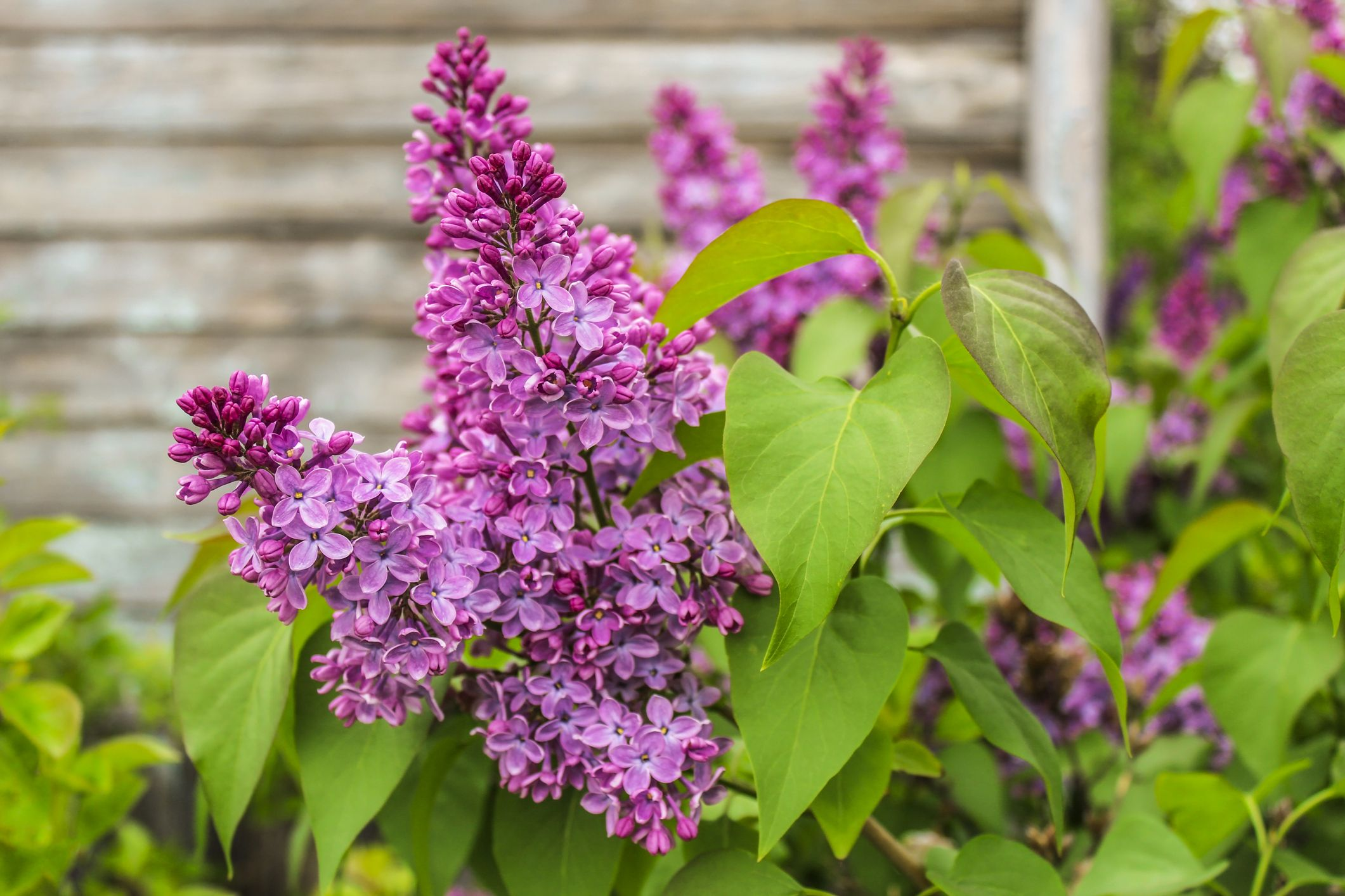The 10 Most Beautiful Shrubs to Plant in Your Garden