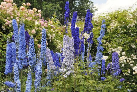 blue delphinium flowers and roses blooming in summer garden
