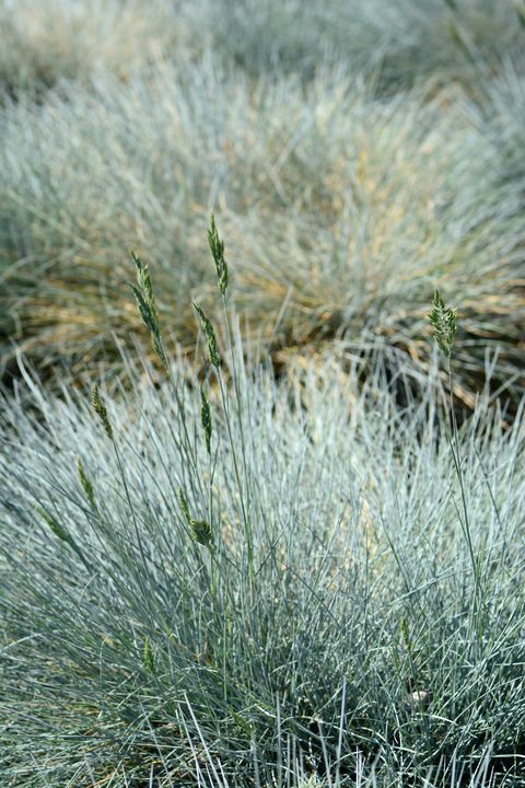 ornamental garden in springtime with blooming blue fescue