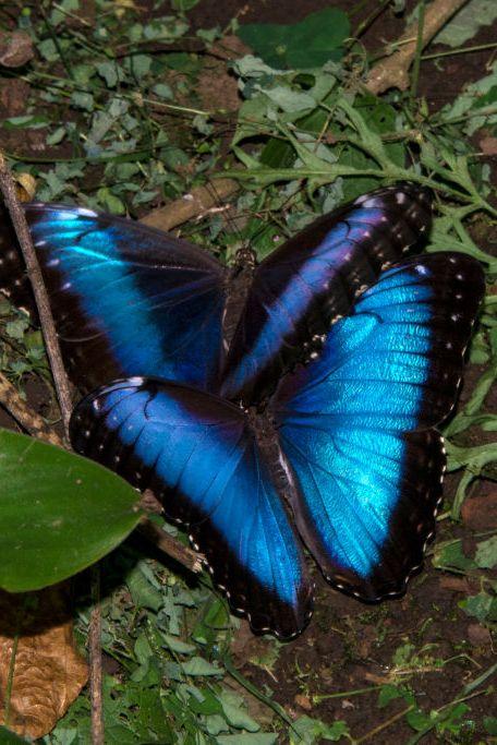 blue morpho butterfly, morpho peleides, mating