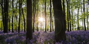 Bluebells At Sunset In An English Beechwood