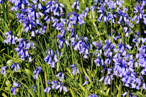 Bluebells in bloom