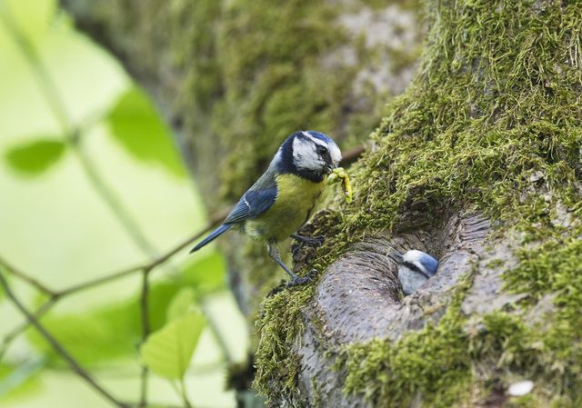 blue tit, parus caeruleus, at nest hole, ferry wood, norfolk photo by david tiplingeducation imagesuniversal images group via getty images