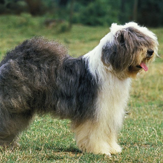 7 dog breeds now at risk of extinction, according to the kennel club