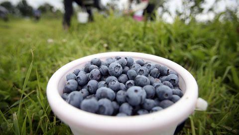 Harvesting bog blueberry in Belarus