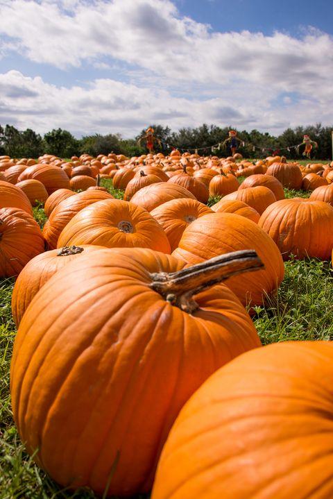 38 Best Pumpkin Farms Near Me 2019 Pumpkin Picking Near Me