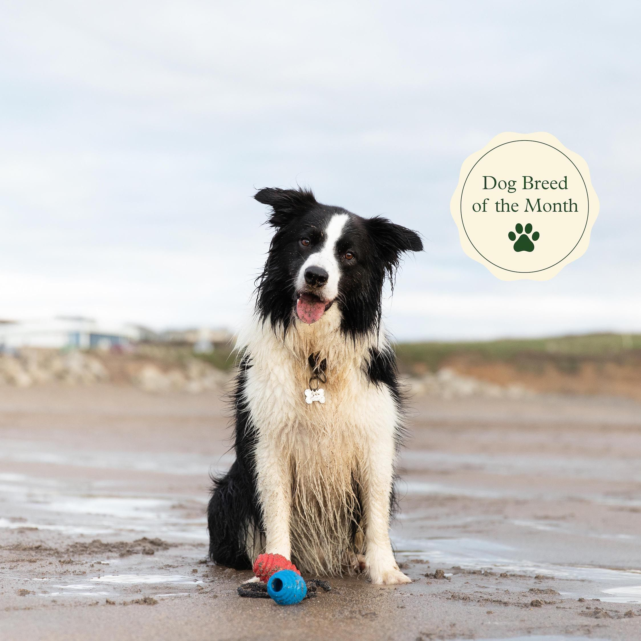 Loving new homes collies for looking border AVAILABLE FOR