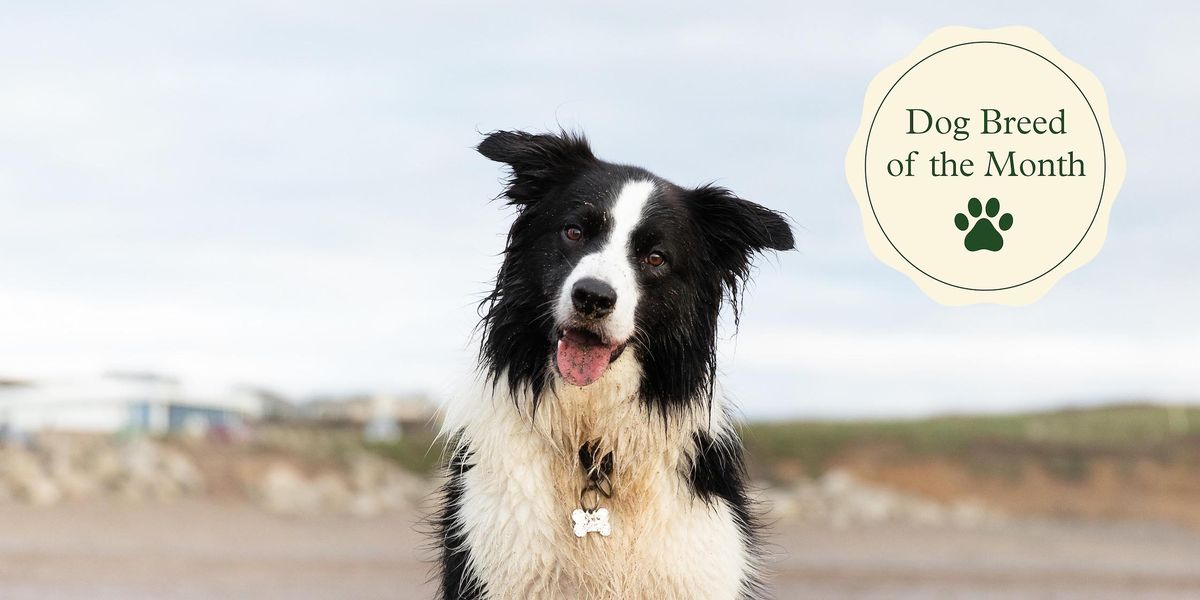 6 fun facts about Border Collies — and why they make superstar pets