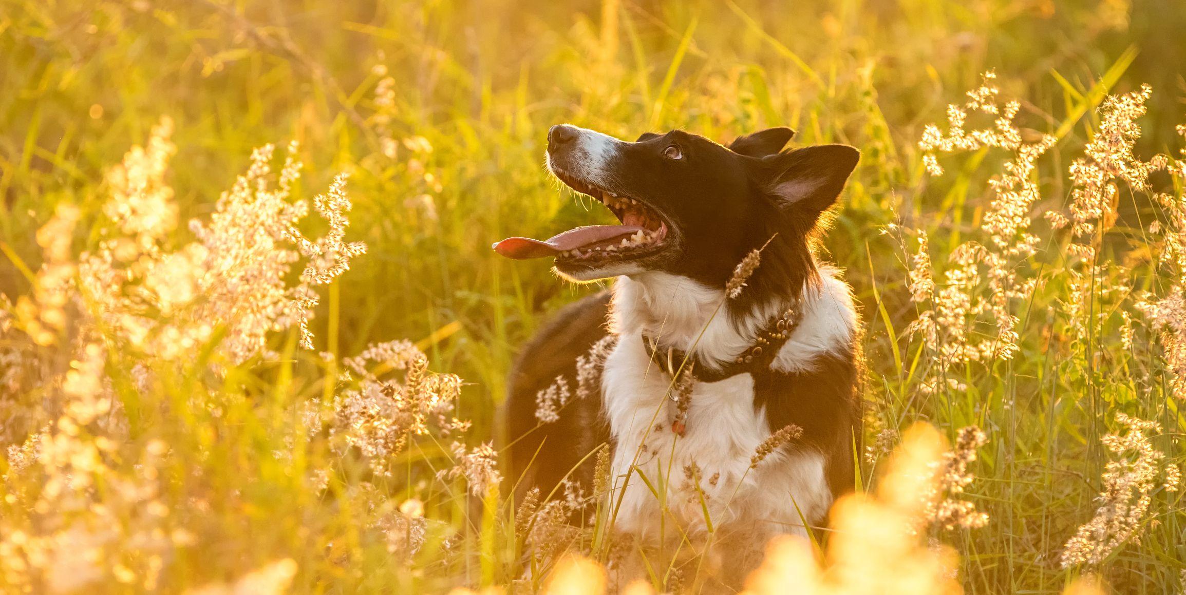 Border Collie dog in field