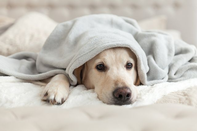 タオルケットにくるまれる犬