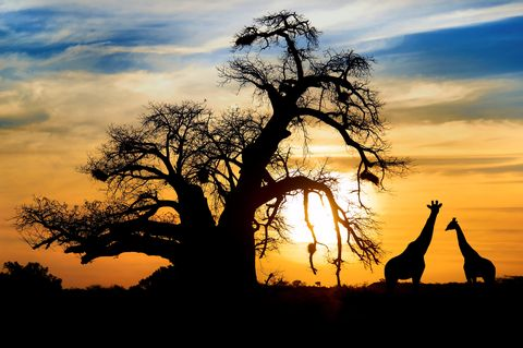 Sky, People in nature, Tree, Nature, Natural landscape, Giraffe, Savanna, Branch, Sunset, Adansonia,