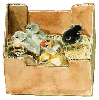 illustration of a box of chicks