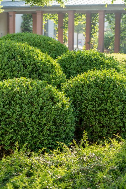 20 Best Boxwood Shrubs To Plant Boxwood Bush And Hedge Ideas