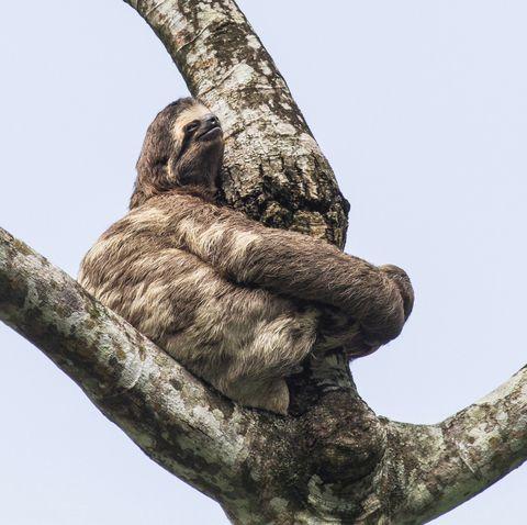sloths in trees   bradypus variegatus preguiça