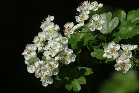 A branch of stunning Hawthorn blossom (Crataegus monogyna).