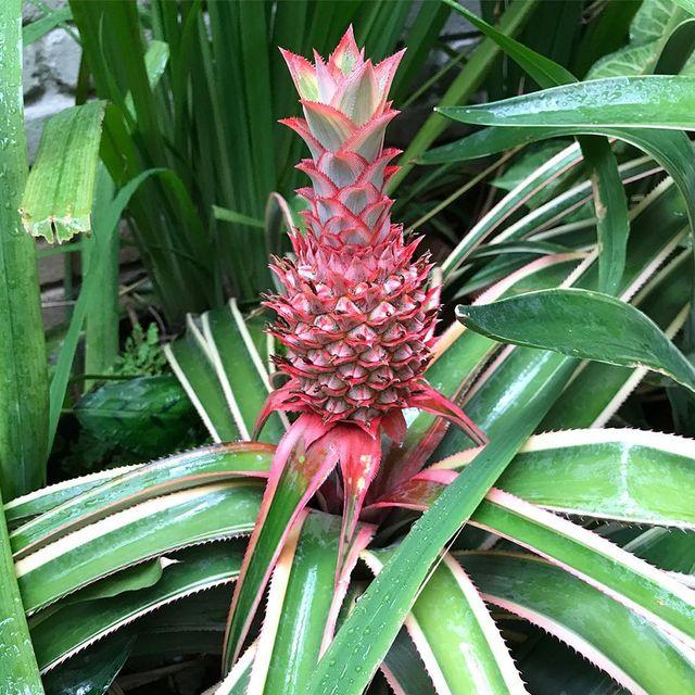 brazilian red pineapple