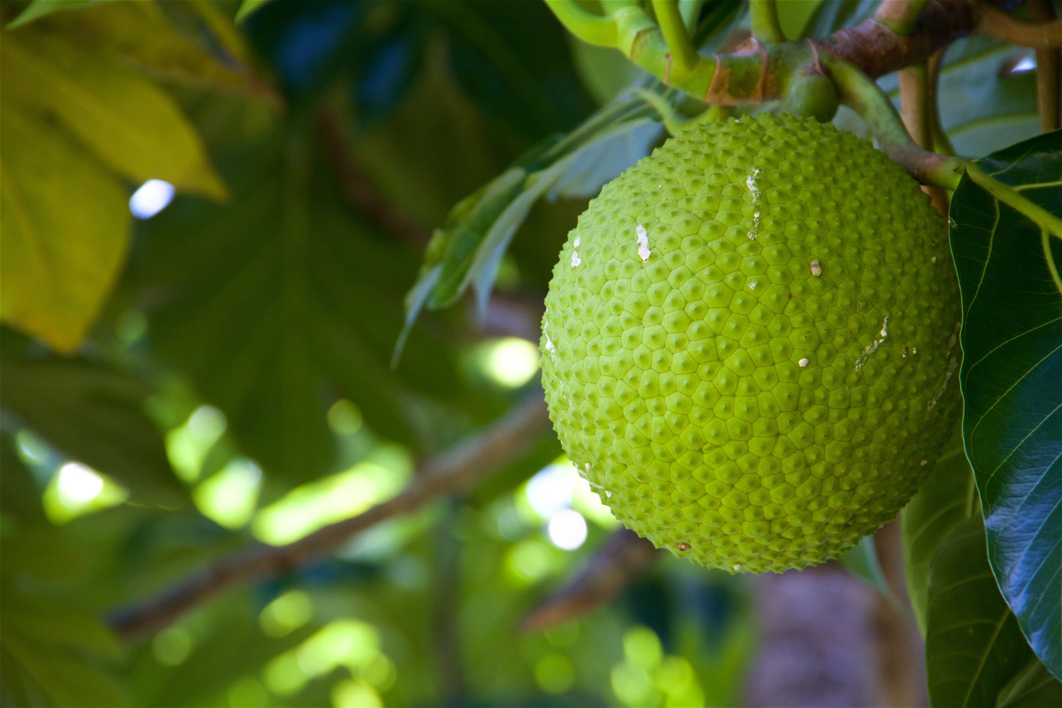What Is Breadfruit—and Should You Use It to Carb-Load?