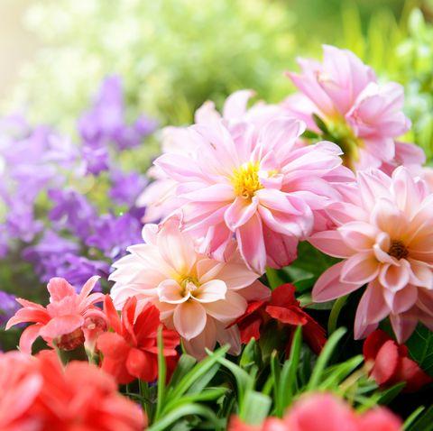 Bright close-up of dahlias, carnations and campanula flowers