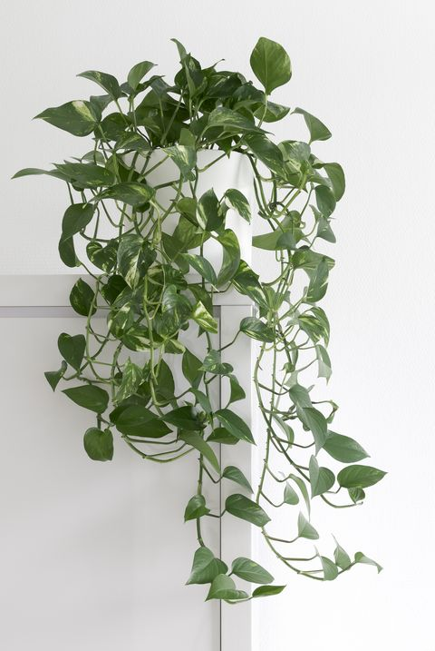 living room plants pothos